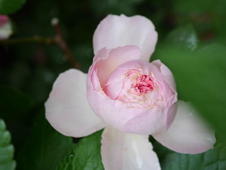 ジ・エンシェント・マリナー(The Ancient Mariner)の花がたくさん咲いた。2021年-064.jpg
