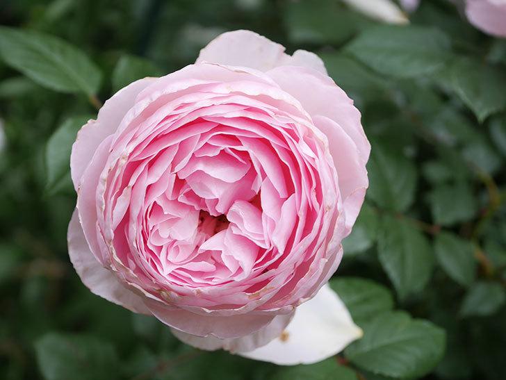 ジ・エンシェント・マリナー(The Ancient Mariner)の花がたくさん咲いた。2021年-066.jpg