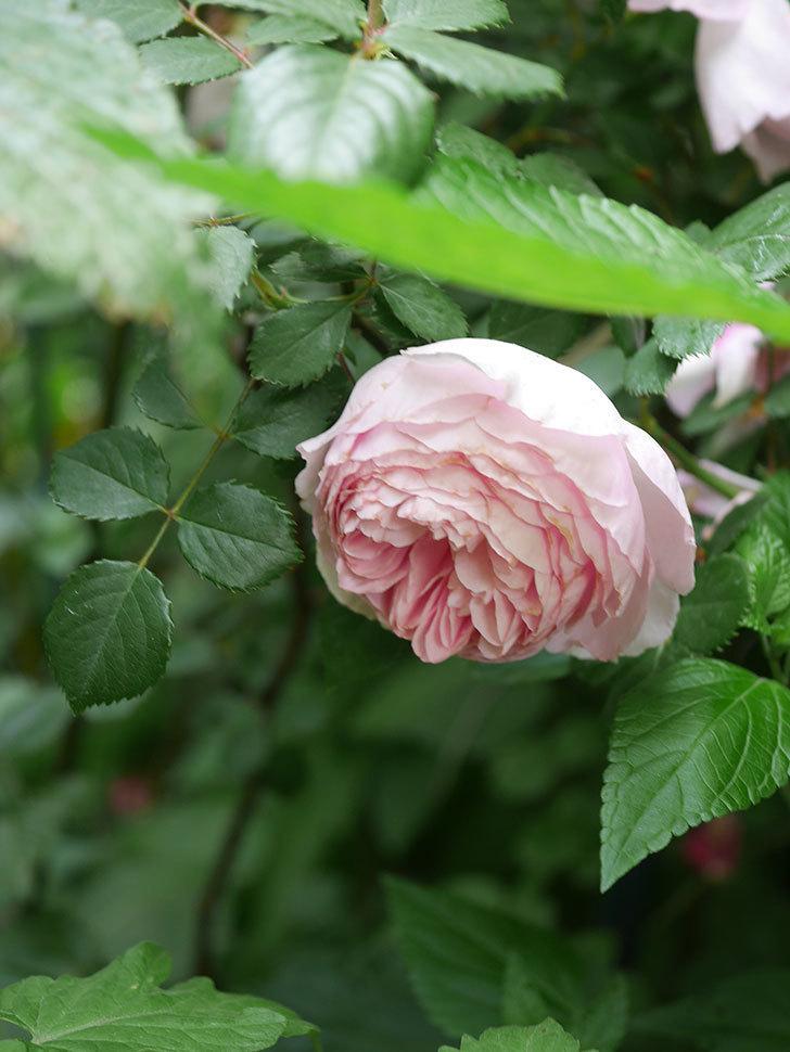 ジ・エンシェント・マリナー(The Ancient Mariner)の花がたくさん咲いた。2021年-069.jpg