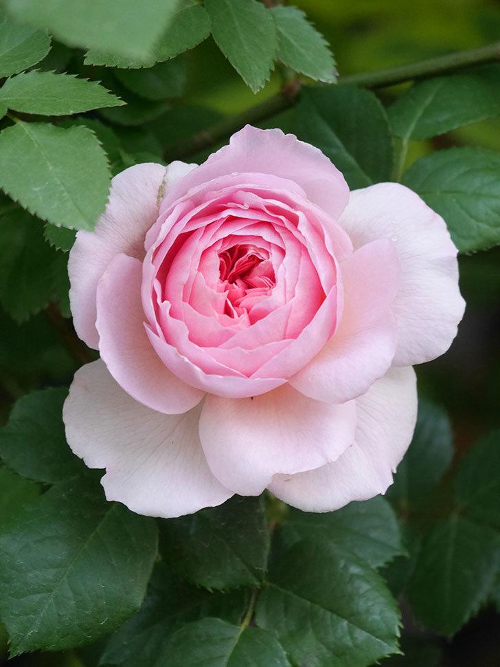 ジ・エンシェント・マリナー(The Ancient Mariner)の花が咲いた。2021年-013.jpg