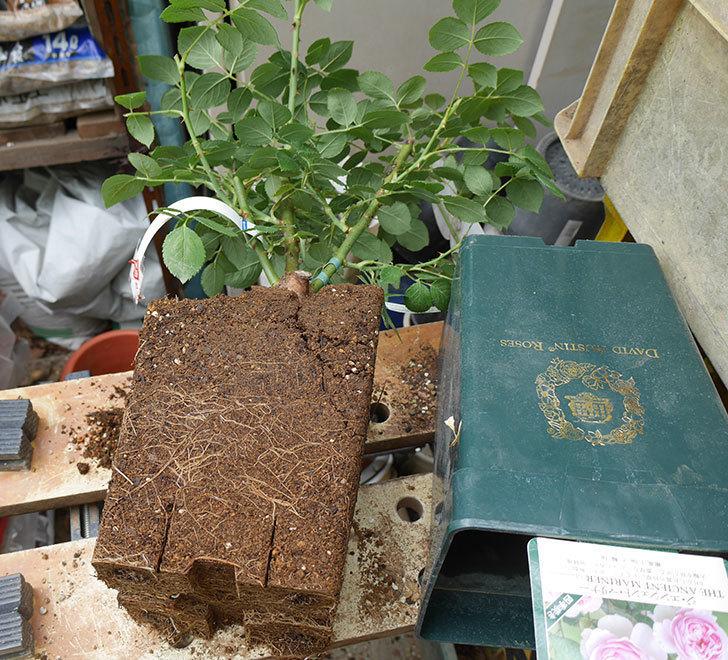 ジ・エンシェント・マリナー(半ツルバラ)の大苗を懸崖鉢10号に植えた。2019年-1.jpg