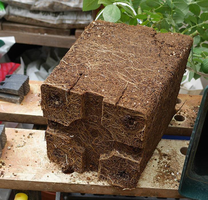 ジ・エンシェント・マリナー(半ツルバラ)の大苗を懸崖鉢10号に植えた。2019年-2.jpg