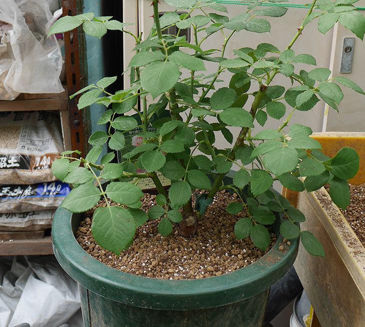 ジ・エンシェント・マリナー(半ツルバラ)の大苗を懸崖鉢10号に植えた。2019年-4.jpg