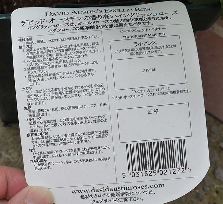 ジ・エンシェント・マリナー(半ツルバラ)の大苗買って来た。2019年-4.jpg