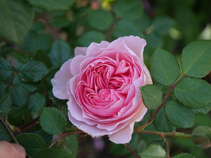 ジ・エンシェント・マリナー(半ツルバラ)の花が咲いた。2020年-1.jpg