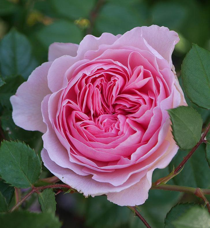 ジ・エンシェント・マリナー(半ツルバラ)の花が咲いた。2020年-2.jpg