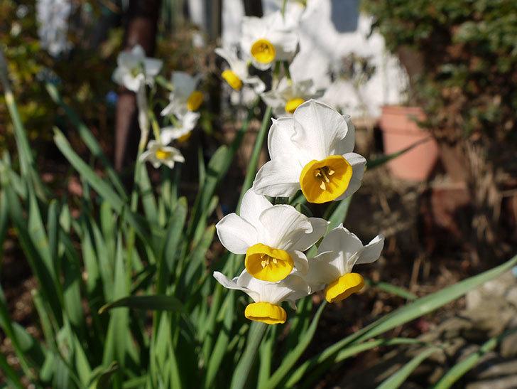 スイセンがたくさん咲いた。2016年-1.jpg