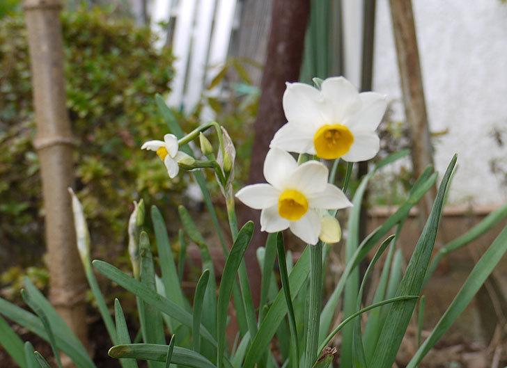 スイセンが咲いた。2015年12月-1.jpg