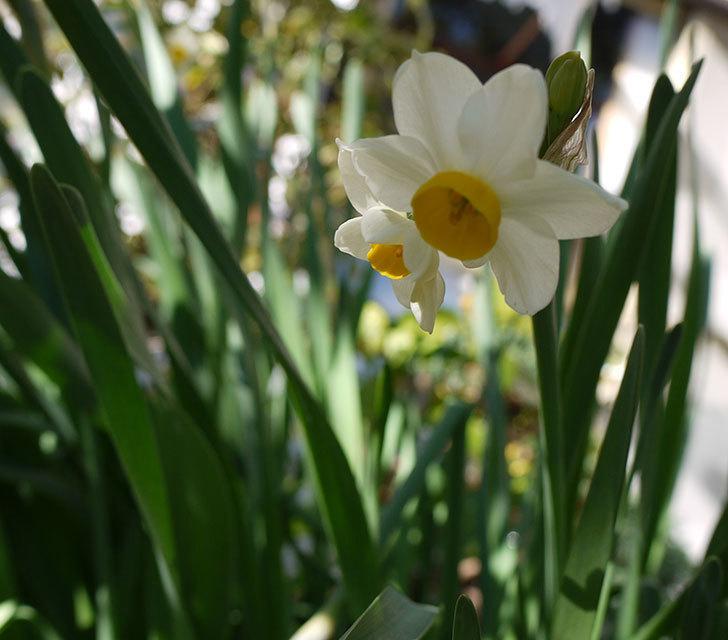 スイセンが咲きだした。2017年-2.jpg