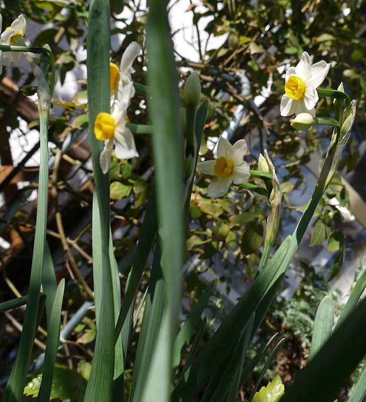 スイセンが咲きだした。2017年-3.jpg