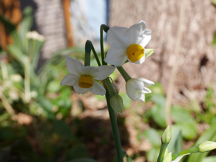 スイセンが咲きだした。2021年-003.jpg