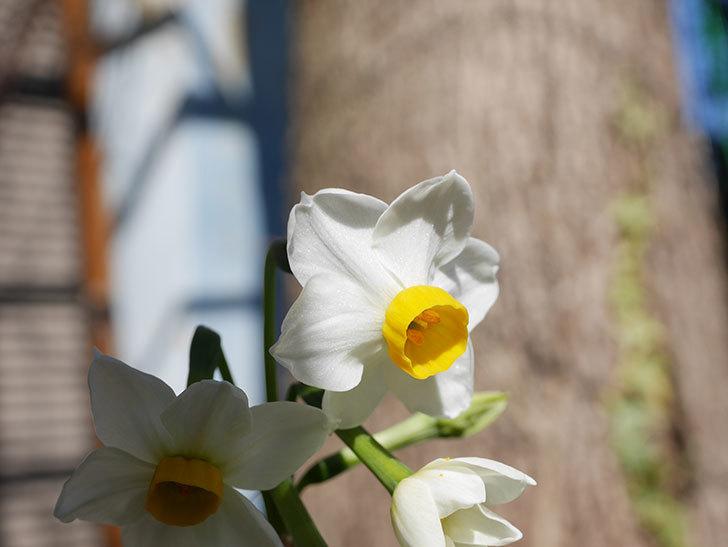 スイセンが咲きだした。2021年-005.jpg