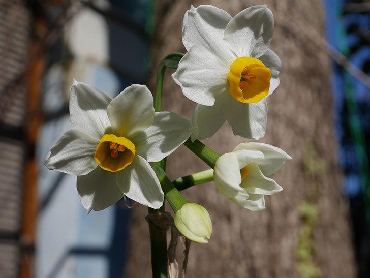 スイセンが咲きだした。2021年-009.jpg