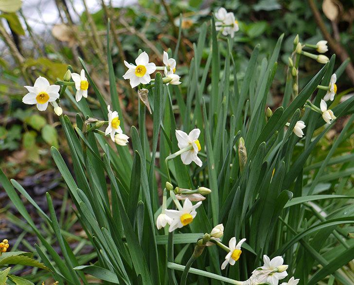 スイセンの花が増えてきた。2017年-1.jpg
