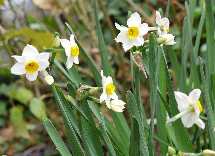 スイセンの花が増えてきた。2017年-2.jpg