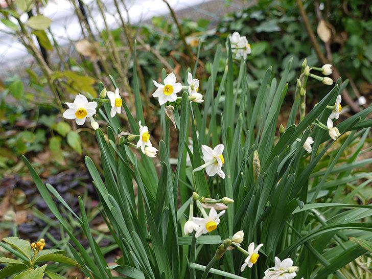 スイセンの花が増えてきた。2017年-3.jpg