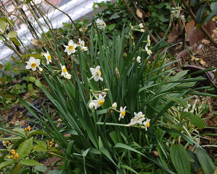 スイセンの花が増えてきた。2017年-4.jpg