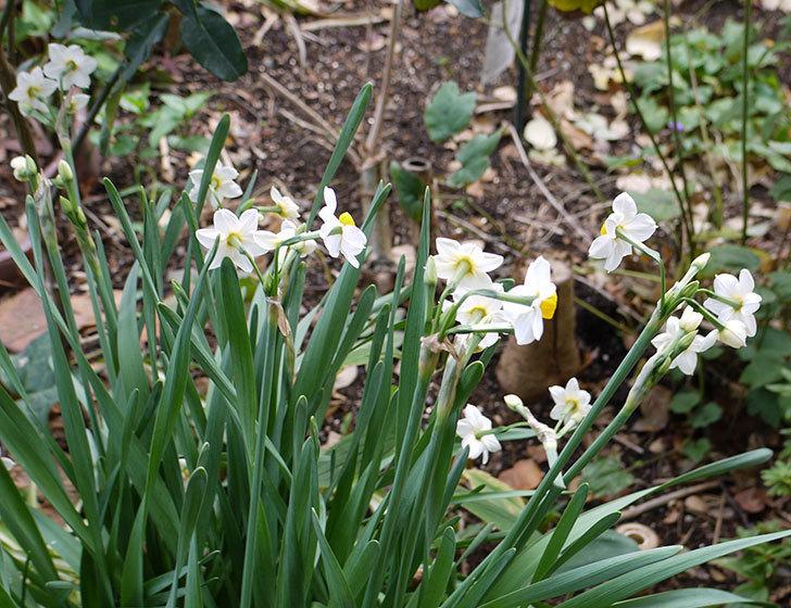 スイセンの花が増えてきた。2017年-5.jpg