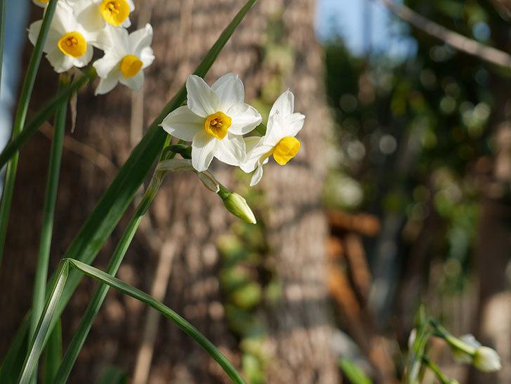 スイセンの花が増えてきた。2021年-002.jpg