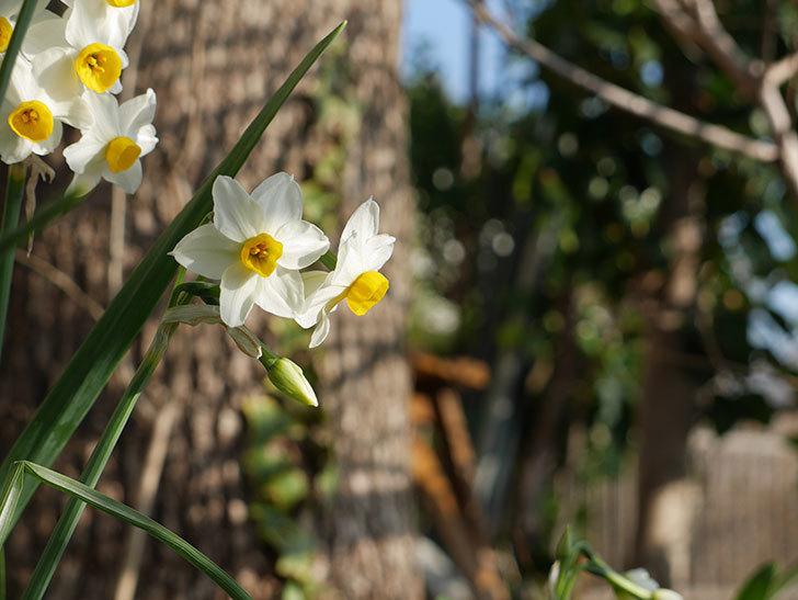 スイセンの花が増えてきた。2021年-003.jpg