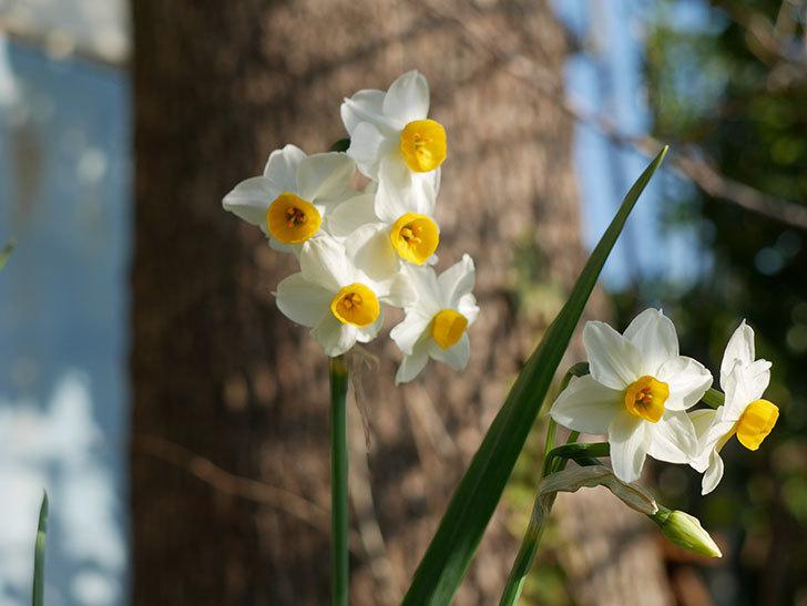 スイセンの花が増えてきた。2021年-004.jpg