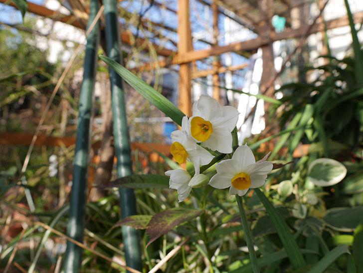 スイセンの花が増えてきた。2021年-005.jpg