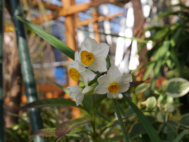 スイセンの花が増えてきた。2021年-006.jpg