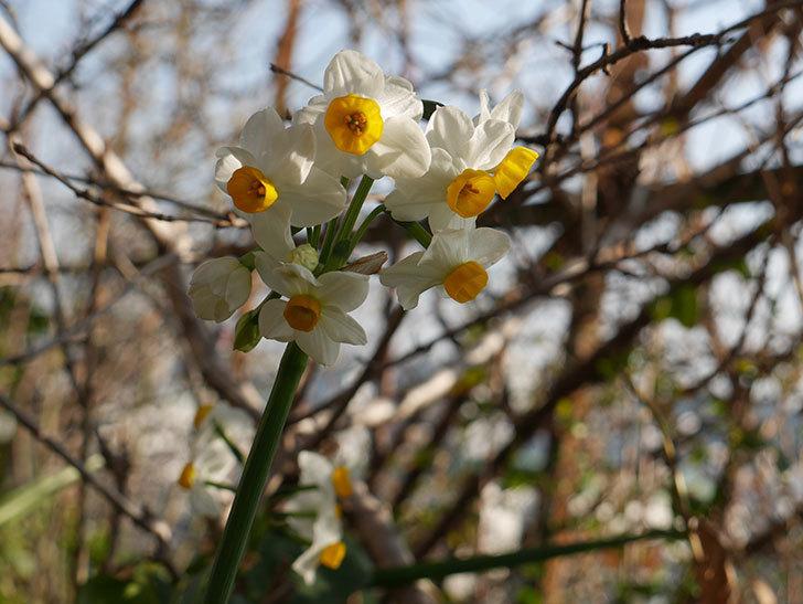 スイセンの花が増えてきた。2021年-011.jpg