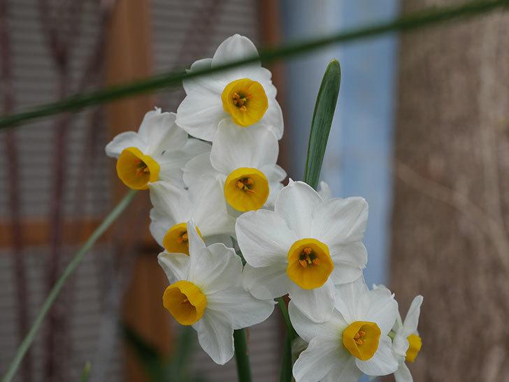 スイセンの花が増えてきた。2021年-013.jpg