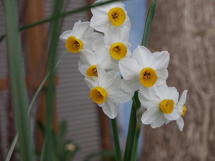 スイセンの花が増えてきた。2021年-014.jpg
