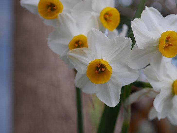スイセンの花が増えてきた。2021年-015.jpg