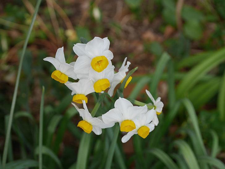 スイセンの花が増えてきた。2021年-019.jpg