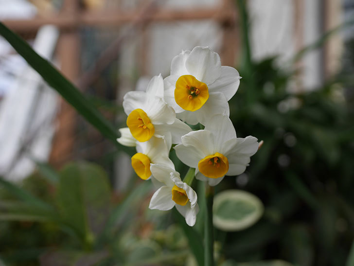 スイセンの花が増えてきた。2021年-021.jpg