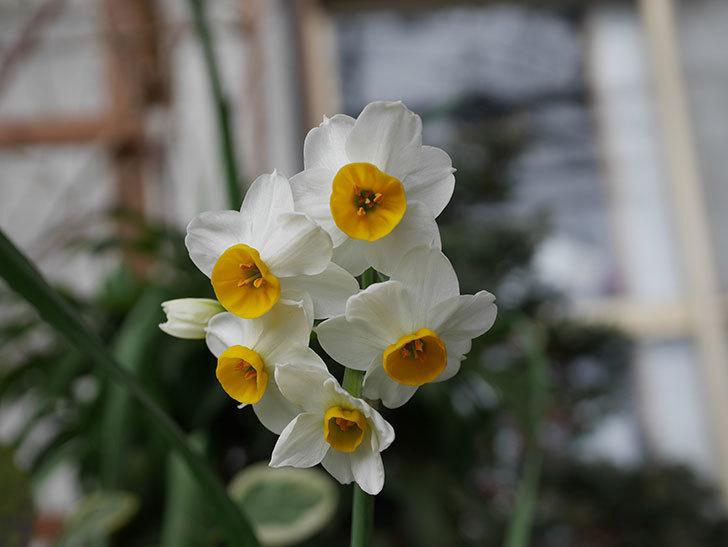 スイセンの花が増えてきた。2021年-022.jpg