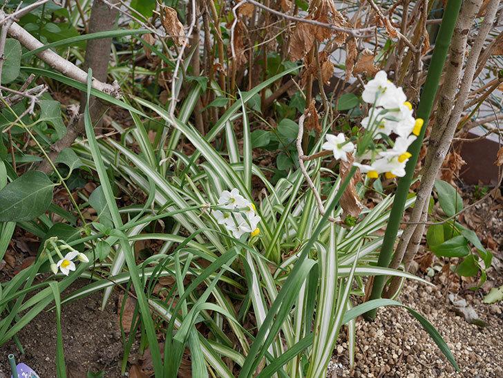 スイセンの花が増えてきた。2021年-025.jpg
