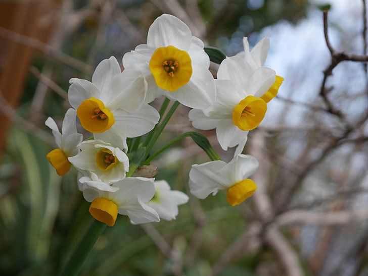 スイセンの花が増えてきた。2021年-027.jpg