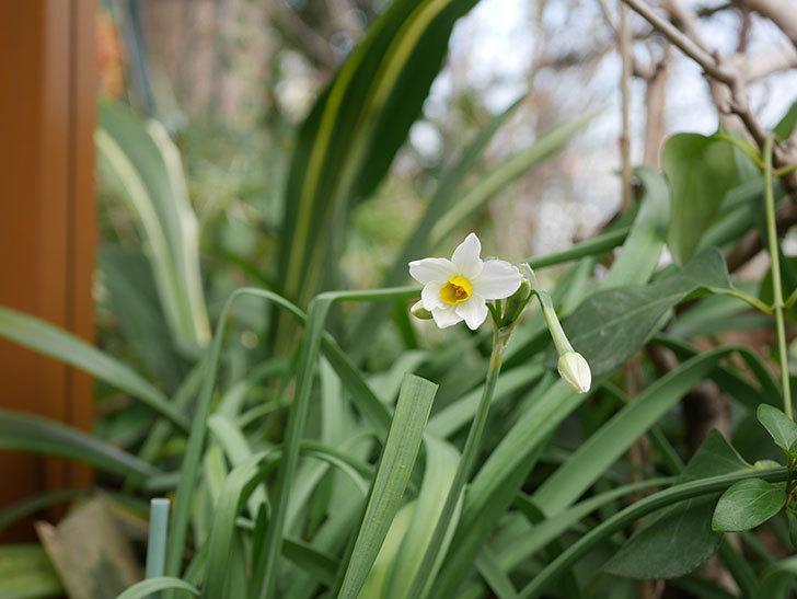 スイセンの花が増えてきた。2021年-030.jpg