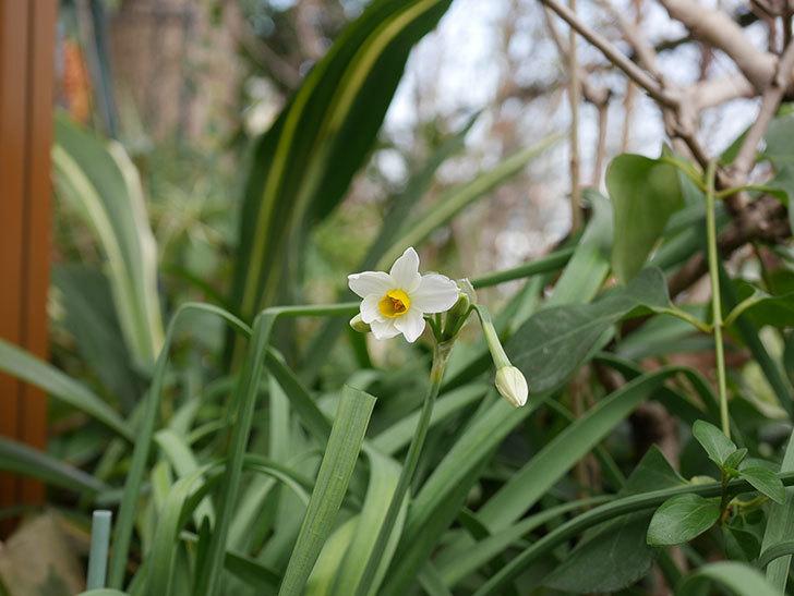 スイセンの花が増えてきた。2021年-031.jpg