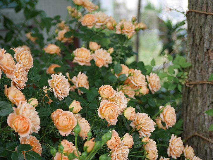 スイートドリーム(ツルバラ)がたくさん咲いた。2018年-3.jpg