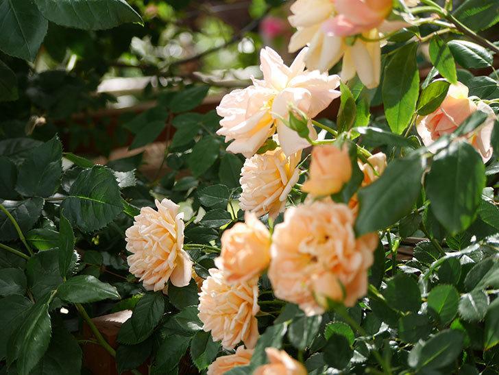 スイートドリーム(ツルバラ)がたくさん咲いた。2018年-5.jpg