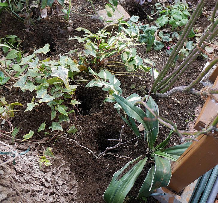 スイートドリーム(ツルバラ)に寒肥を施した。2019年-2.jpg