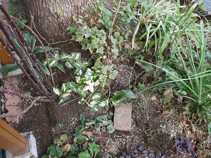 スイートドリーム(ツルバラ)に寒肥を施した。2019年-4.jpg
