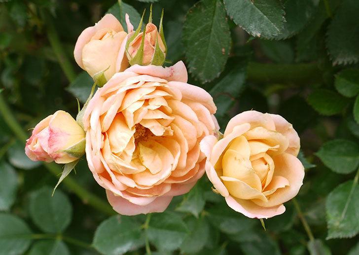 スイートドリーム(ツルバラ)の2番花がまた咲いた。2016年-1.jpg