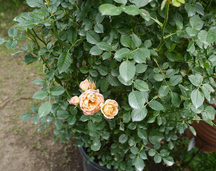 スイートドリーム(ツルバラ)の2番花がまた咲いた。2016年-2.jpg