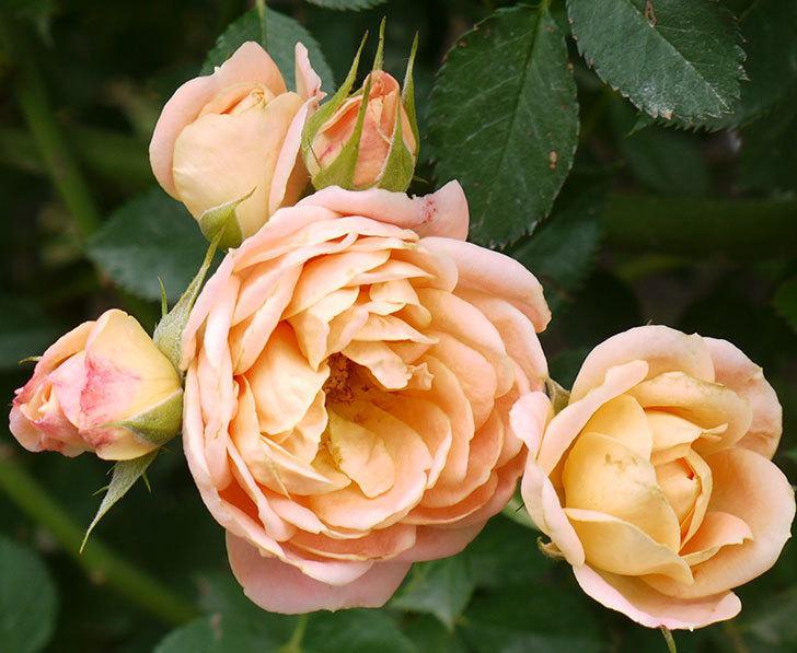 スイートドリーム(ツルバラ)の2番花がまた咲いた。2016年-3.jpg