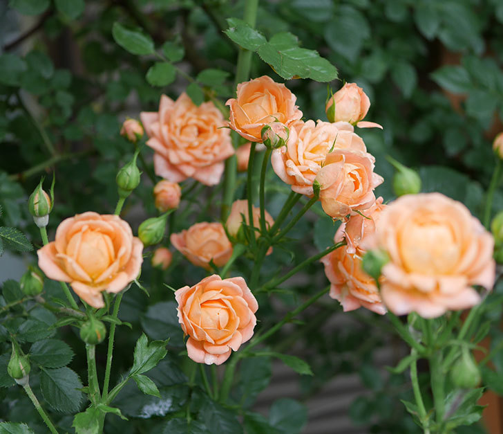 スイートドリーム(ツルバラ)の2番花がまた咲いた。2018年-1.jpg