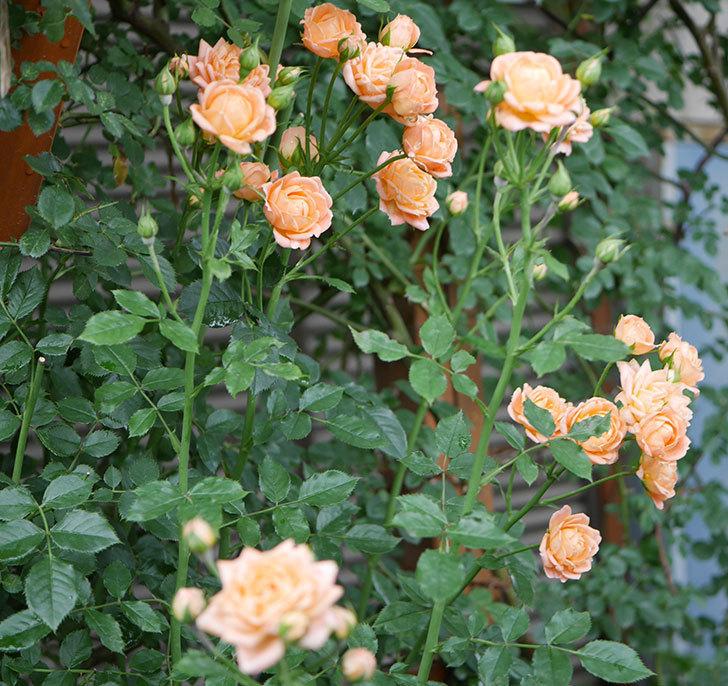スイートドリーム(ツルバラ)の2番花がまた咲いた。2018年-2.jpg