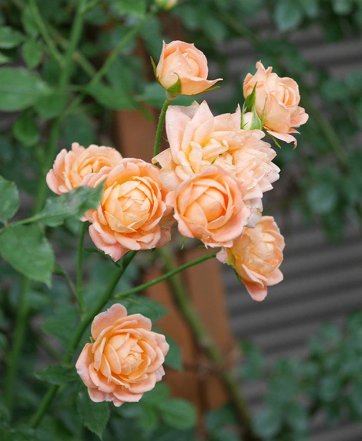 スイートドリーム(ツルバラ)の2番花がまた咲いた。2018年-3.jpg