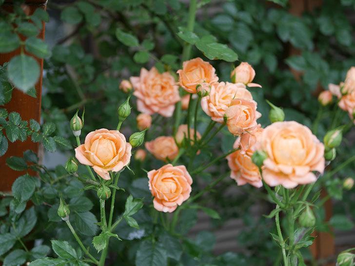 スイートドリーム(ツルバラ)の2番花がまた咲いた。2018年-4.jpg