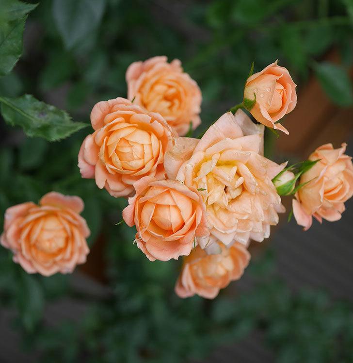 スイートドリーム(ツルバラ)の2番花がまた咲いた。2018年-5.jpg
